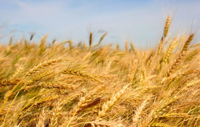 """Winter wheat used to have a 40 per cent yield advantage to spring wheat and now that's shrunk down to 10 to 20 per cent."" – Ken Gross."