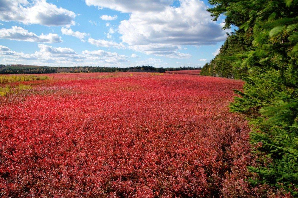 File photo of a New Brunswick blueberry field in autumn. (EdCorey/iStock/Getty Images)