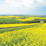 The canola value chain isn't ready to give up
