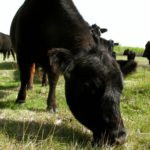 Cool weather slowing pasture growth