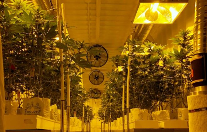 Plants at Delta 9 Cannabis' indoor production facility in Winnipeg. (Dave Bedard photo)