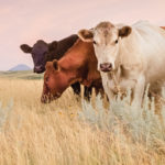 The last few cattle are still headed to pasture as the market takes its annual break.