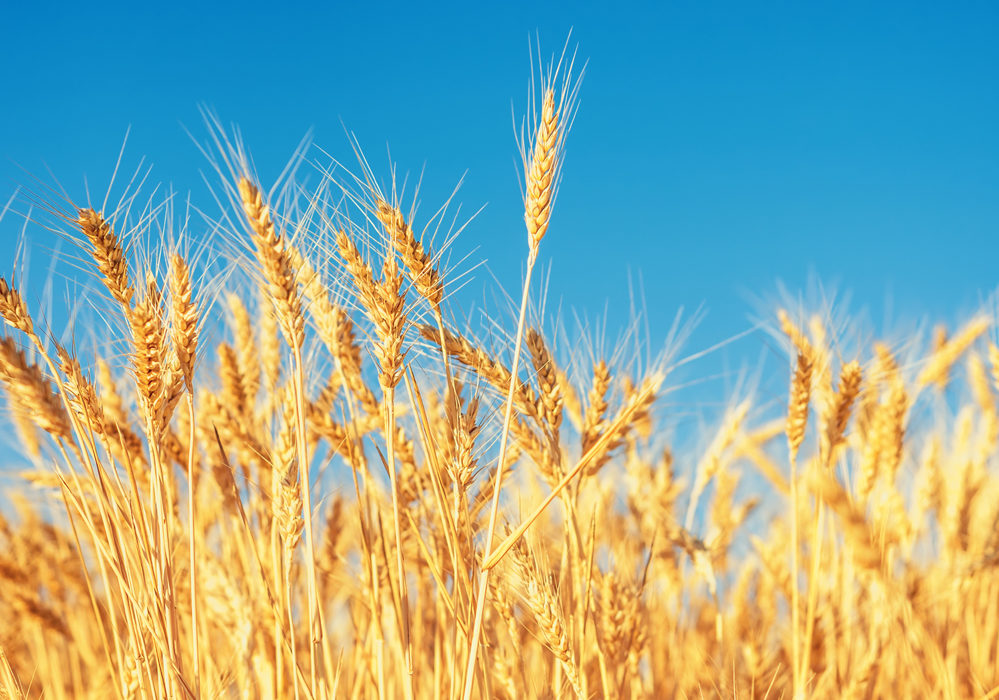 EU wheat crop shows mixed results as harvest progresses