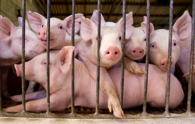 Piglets look out from a fence at Cabanas Argentinas del Sol pig farm in Marcos Paz, southwest of Buenos Aires in December 2008.  Photo: Reuters/Enrique Marcarian