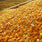 China says corn output to grow, after fears of shortfall drive prices