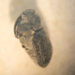 Cabbage seed pod weevil.
