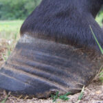 Laminitis has been found to be closely related to cresty necks in horses, and can even be predicted by the condition of the neck fat.