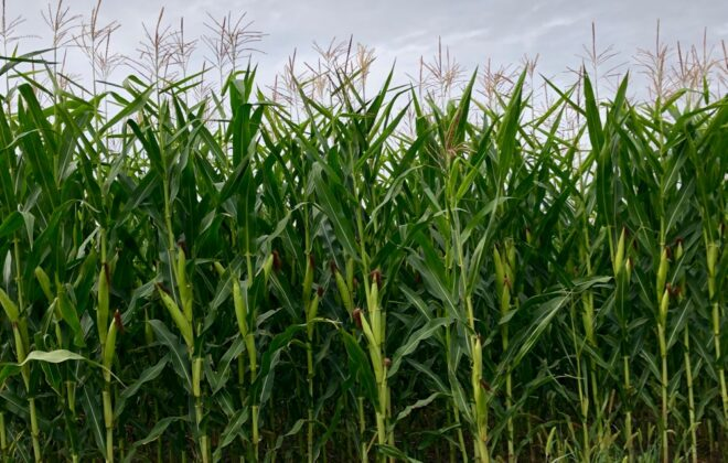 A corn crop west of Grunthal, Man. on Aug. 17, 2019. (Dave Bedard photo)