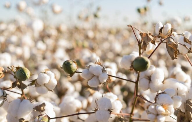 File photo of a U.S. cotton crop. (BCFC/iStock/Getty Images)