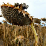 Is Manitoba poised for a bumper sunflower harvest?