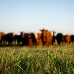 Cattle producers get COVID set-aside program