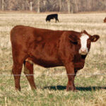 Finished cattle slated for up to $2.5M in AgriRecovery