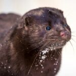 Poland tests mink for COVID despite fur industry's objections