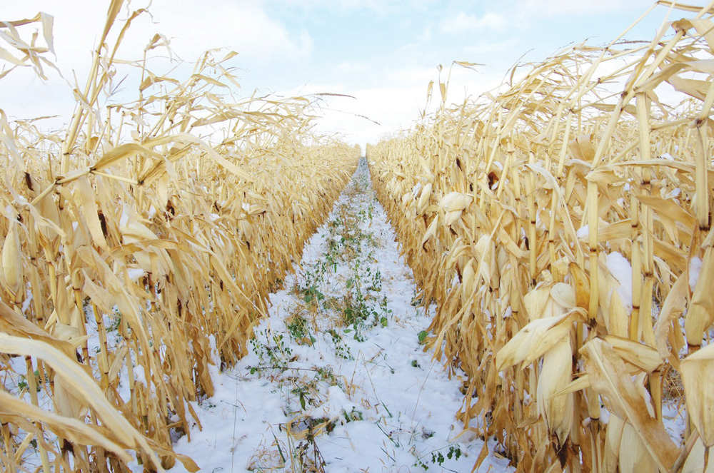 Intercrops peek out between the corn rows of MBFI's latest look into corn grazing practices.