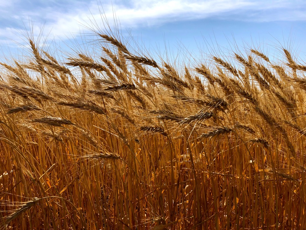 A wheat crop on the Prairies nears harvest in 2018.