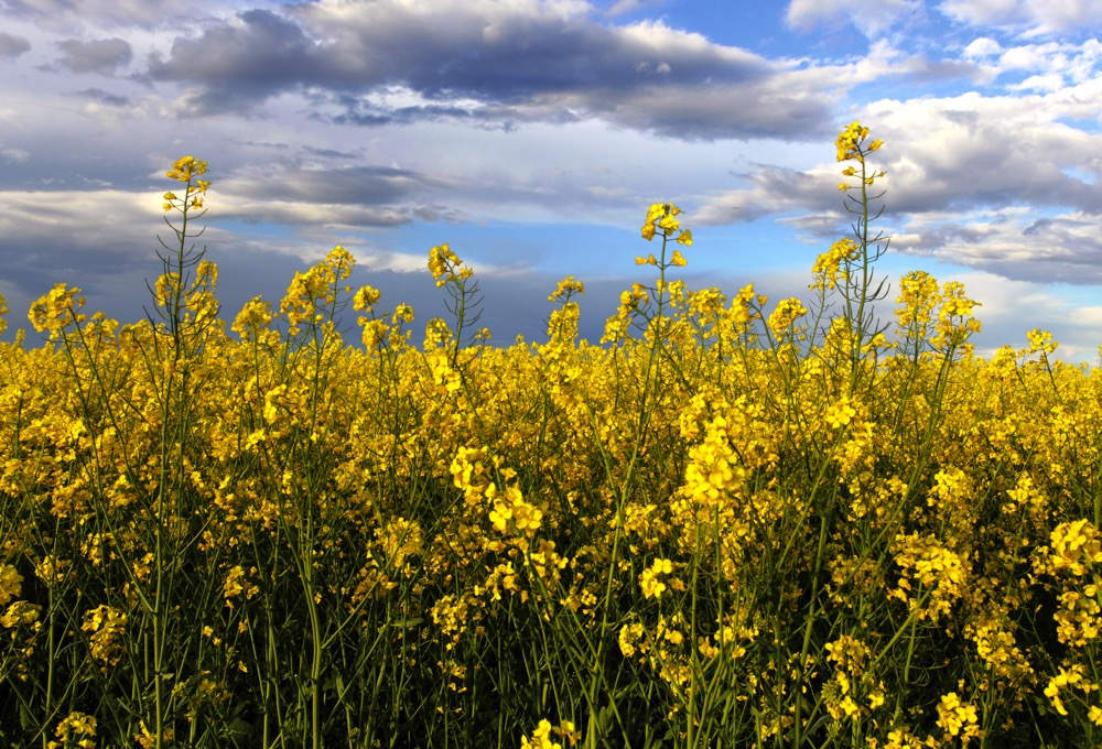 Canola ending stocks forecast lowered