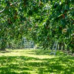 File photo of an Ontario cherry orchard. (UpdogDesigns/iStock/Getty Images)