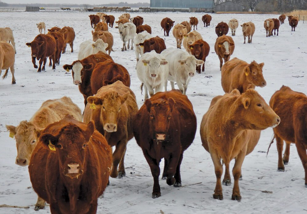 Cattle producers finally get a little help from Mother Nature, in the form of a mild winter.