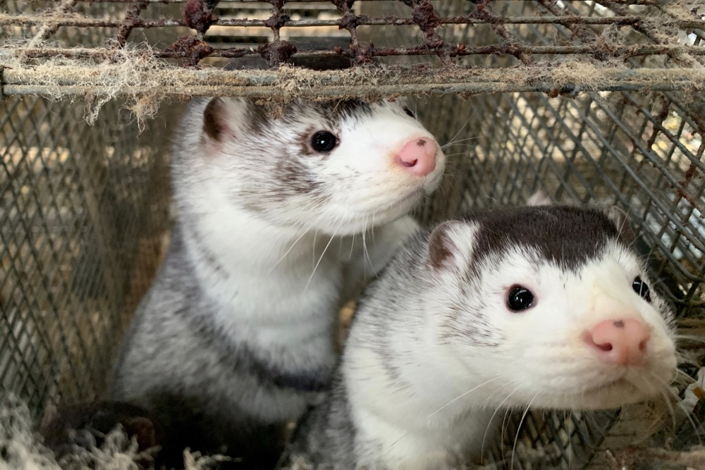 Minks at a farm near Soroe in Denmark on Nov. 5, 2020. (Photo: Reuters/Jacob Gronholt-Pedersen)