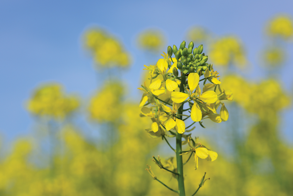 Chorney given Canola Award of Excellence