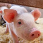 Manitoba 'on track' on PigCARE, PigSAFE registrations