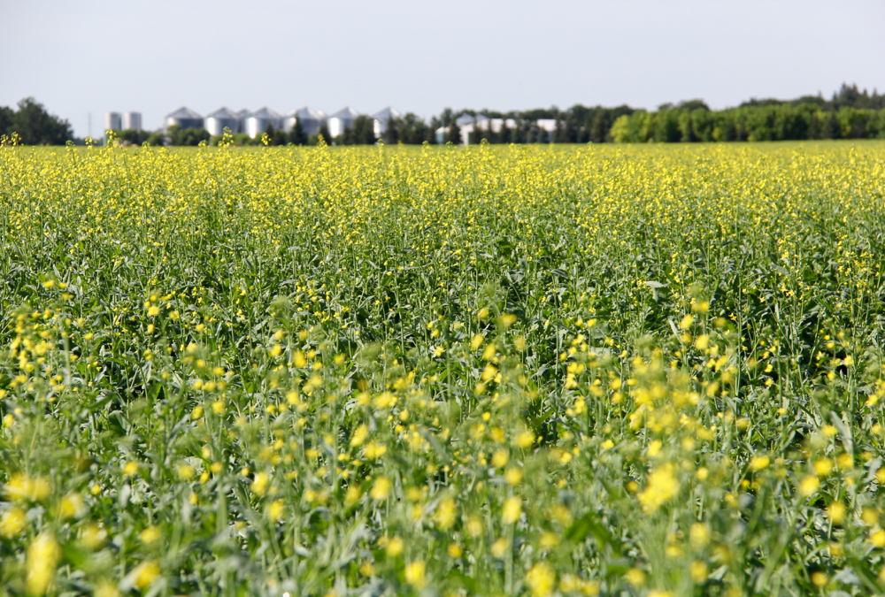 Canada needs a large canola crop this year to restock tight supplies, which doesn't change the fact that the crop remains expensive to grow.