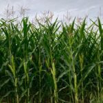 A corn crop west of Grunthal, Man. on Aug. 17, 2019. (Dave Bedard photo)
