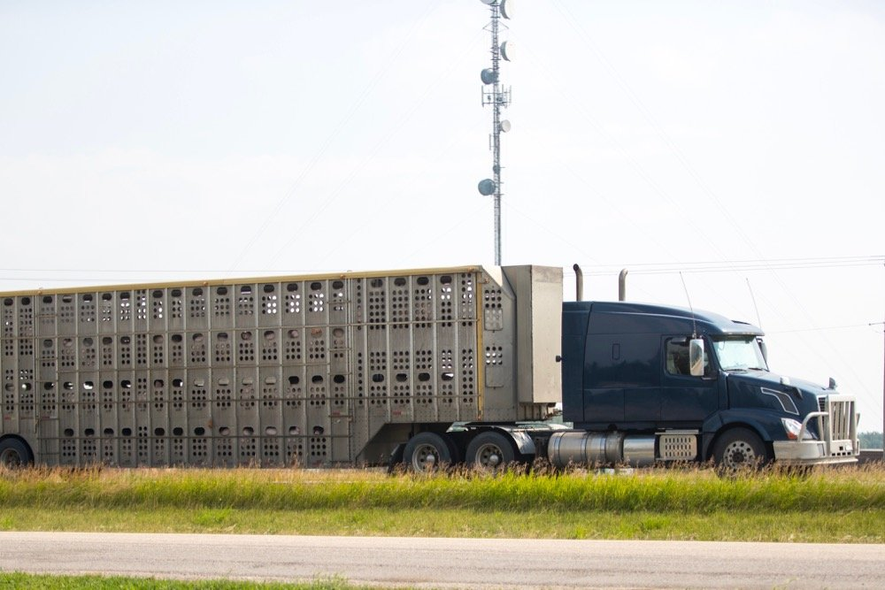 File photo of hogs in transit near Red Deer, Alta. (Stefonlinton/iStock/Getty Images)
