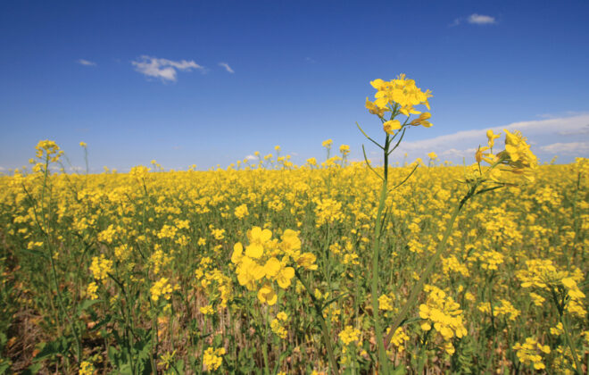 An expected increase in canola production in 2021 isn't expected to improve ending stocks for 2021-22.