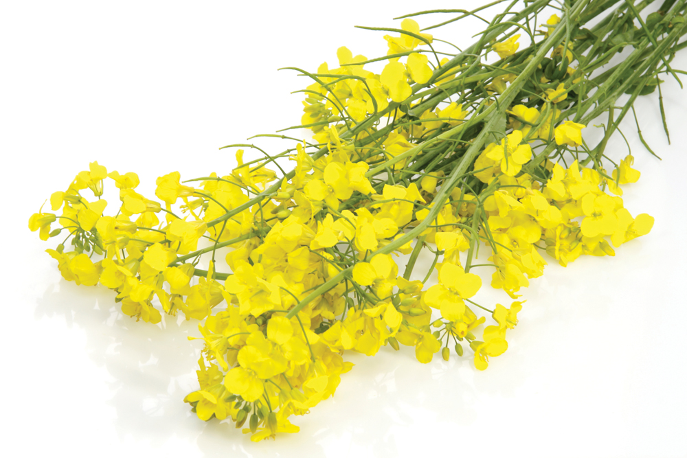 Two years later a new study has put a very large price tag on to China's canola ban.