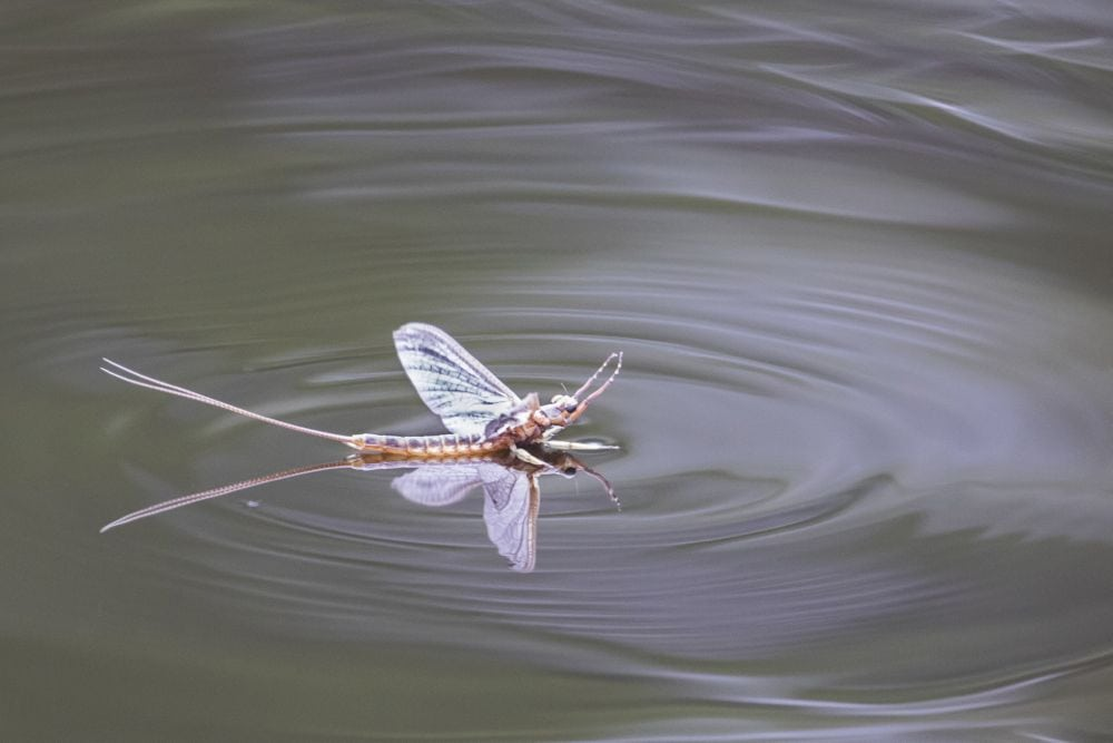 A mayfly on water. (SBTheGreenMan/iStock/Getty Images)