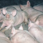 Pork council to fight fee hike on deadstock pickup