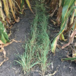 Rye most often-grown cover crop