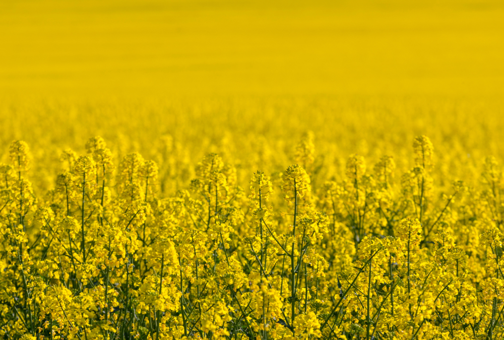 Canola moved upwards in lockstep with soy futures after a surprising planting projections survey.
