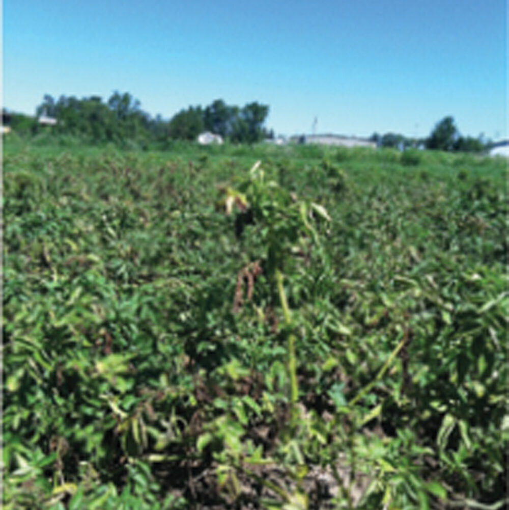 Blocked tissues that transport water cause the telltale wilting and death of Potato Early Dying disease.