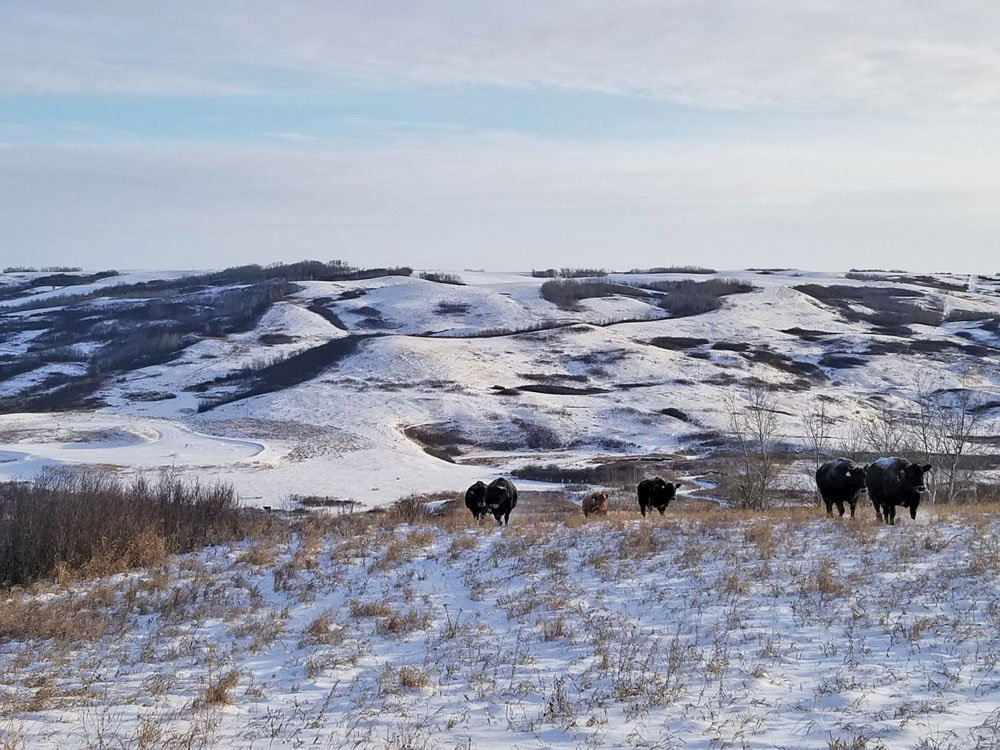 Because 85 per cent of his ranch is native rangeland, Sean McGrath selects genetics that will accommodate things like reduced milk production.