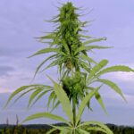 A hemp plant in Alberta. (Jennifer Blair photo)