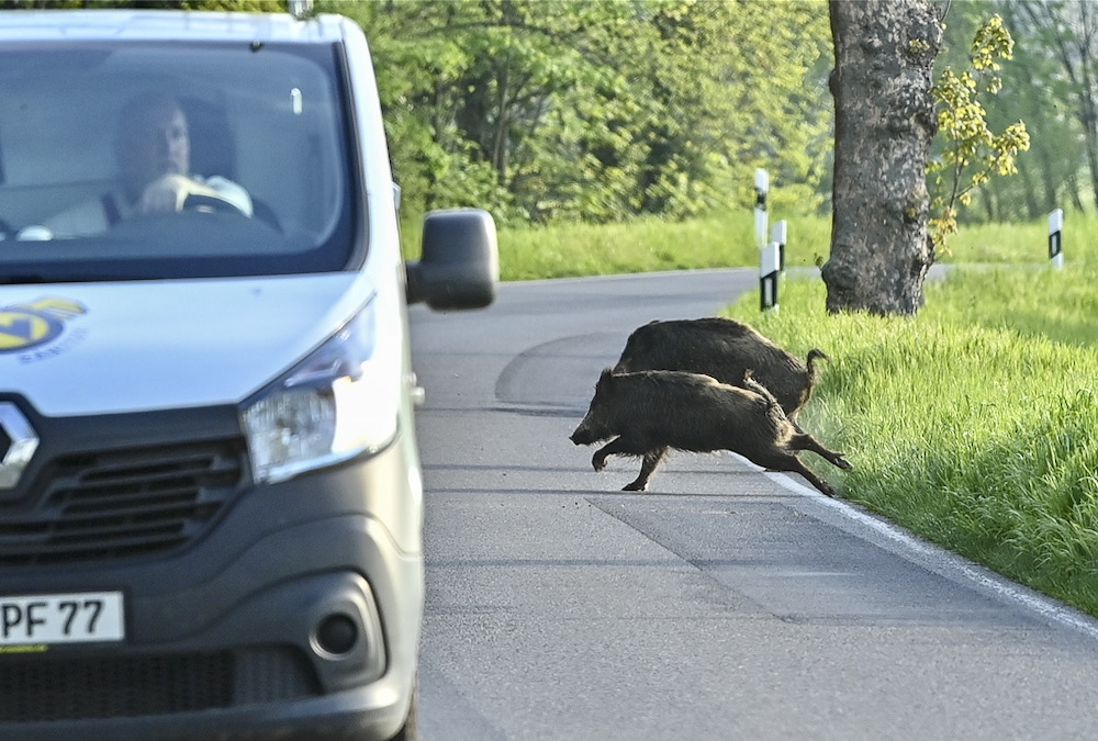 Until now all cases of swine fever in Germany had been in the wild boar population.