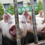 African swine fever and China — it's complicated