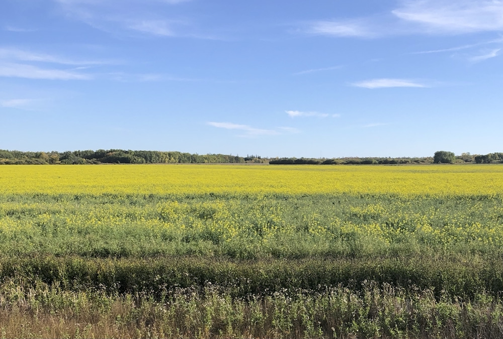 A canola field in Manitoba's Interlake, Sept. 26. New growth blooms despite the late-September calendar.