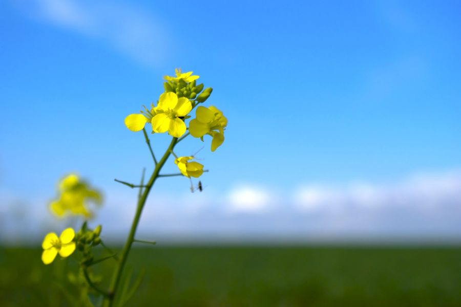 Manitoba Canola Growers Association has pledged $500,000 to support construction of the Prairie Crops and Soils Research Facility at the U of M.